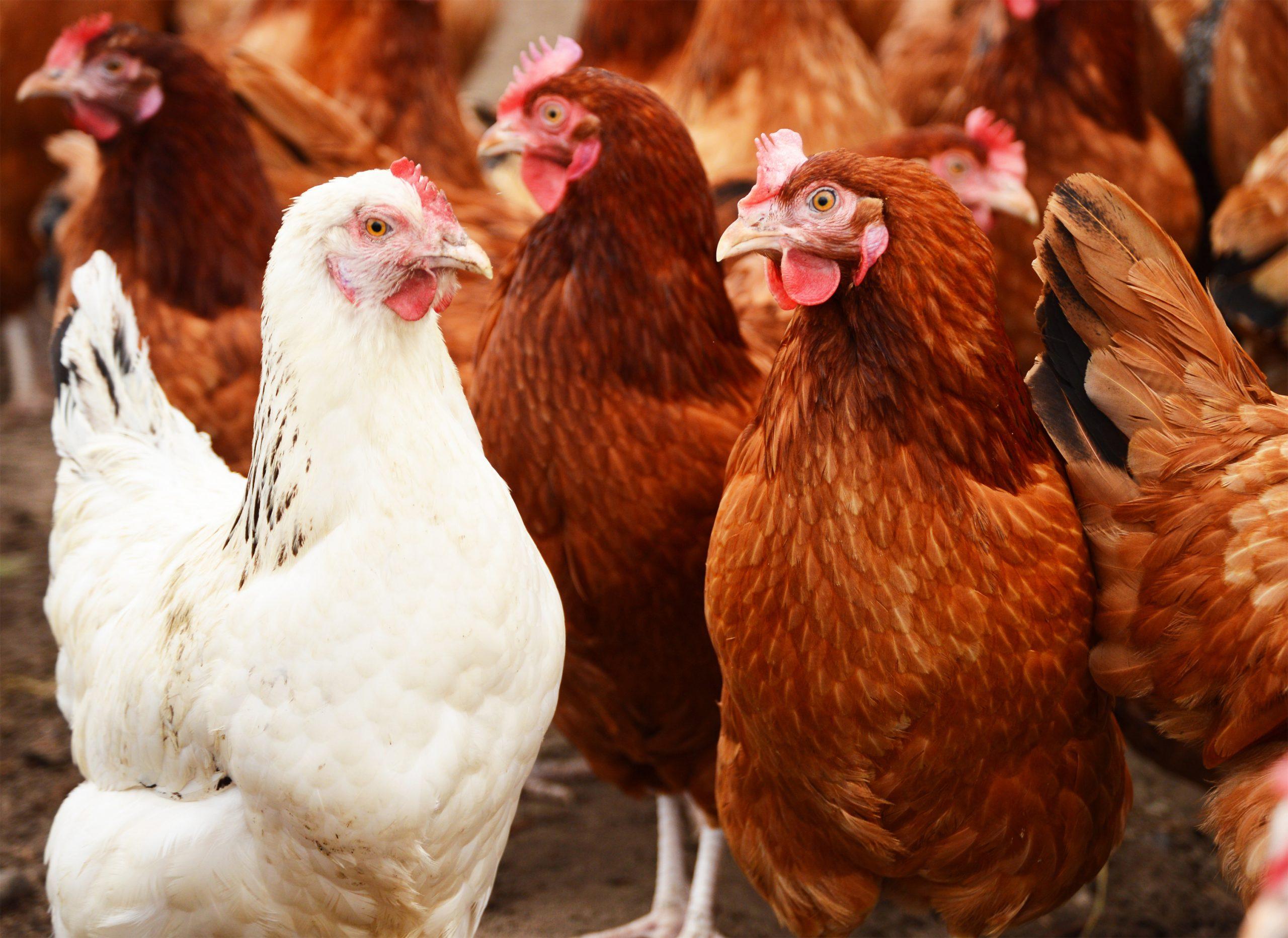 Biologicos-aviares